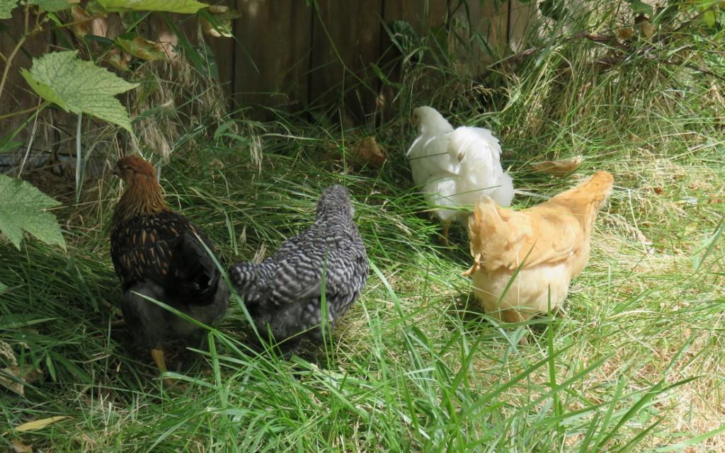 4-chicks-grape-arbor_072615-1