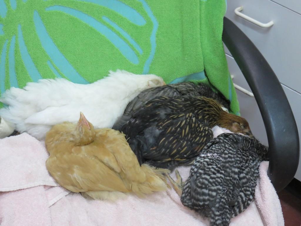 5-Chick-nap_072515-2